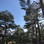 大玄関前の松並木