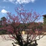 宸殿前の左近の梅